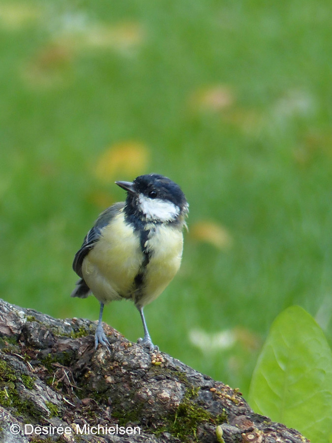Great tit - Utrecht